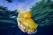 Méduse oeuf sur le plat