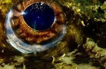 L'oeil de la Baudroie